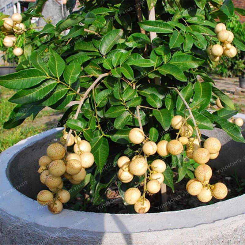 5 шт./упак. Лонган семена бонсай фрукты дракон глаз бонсай тропические фрукты дерево бонсай для DIY садовые растения