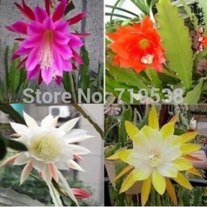 50-para-torba-nopalxochia-tohumlar-orkide-kakts-saks-tohum-tam-variety