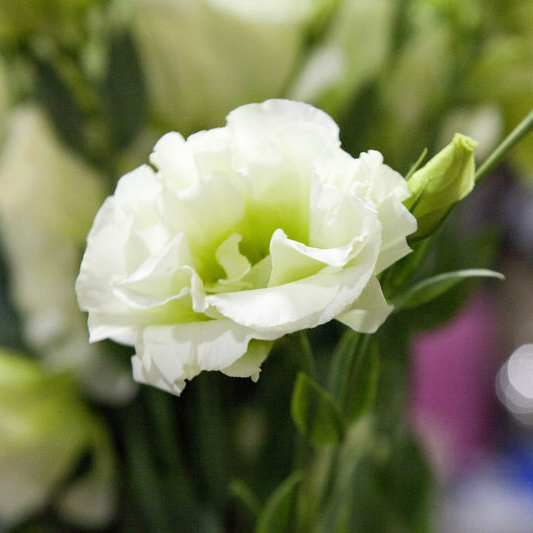 Aliexpress buy 200rare white eustoma seeds perennial flowering aliexpress buy 200rare white eustoma seeds perennial flowering plants balcony potted flowers seeds lisianthus for flower pot planters from reliable mightylinksfo