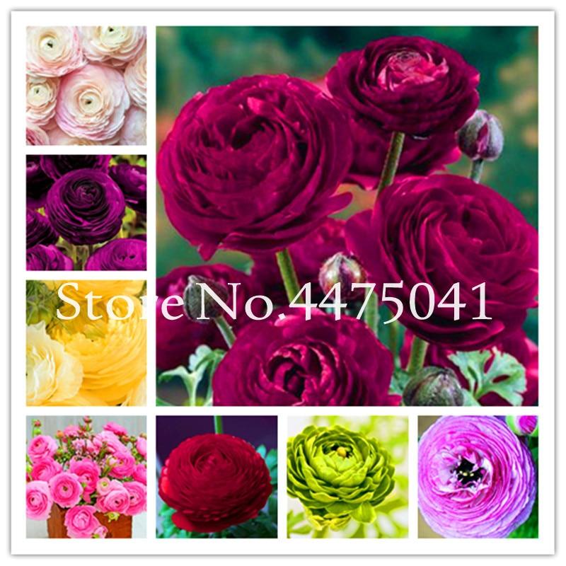 Hot 100 Pcs Colorful Ranunculus Asiaticus Flower Bonsai for Home /& Garden DIY Plants Persian Buttercup Flower Planta Mix
