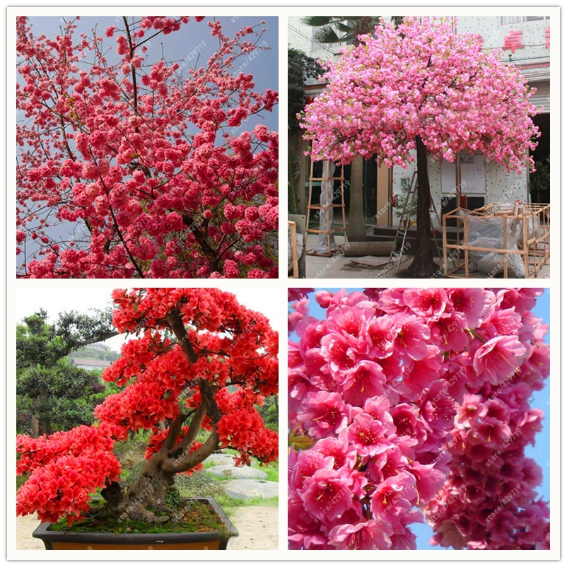 10 Pcs Sakura Seed Japanese Cherry Blossoms Cerasus Bonsai Tree Seeds For Home Garden Flower Plant