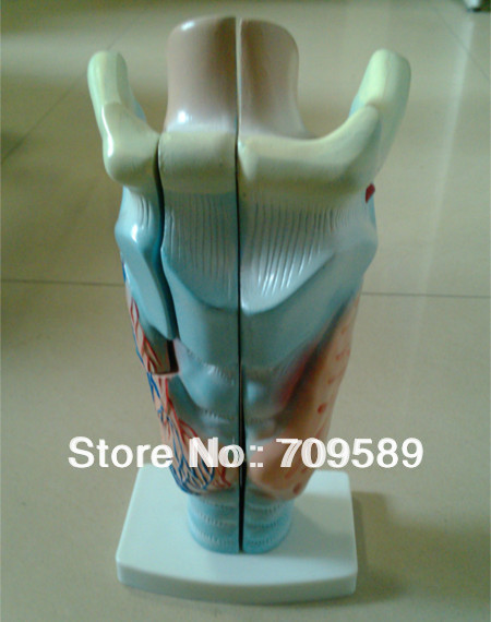 ISO larynx anatomical model, human laryngeal model iso sound auditory mediation model acoustoelectric control human hearing model