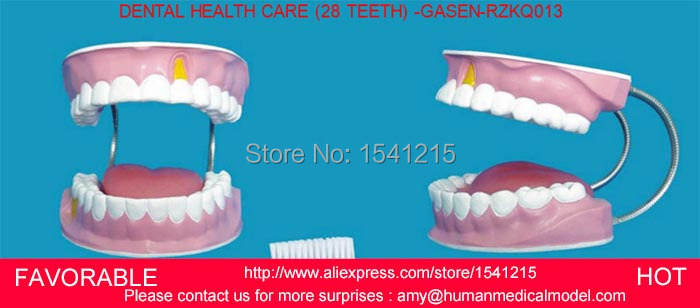 DENTAL TOOTH TEETH ANATOMICAL ANATOMY MODEL ,DENTAL MODEL,DENTAL MODEL 28 LARGE HEALTH CARE TEETH TOOTH -GASEN-RZKQ013 dissected model of teeth tissue dental care model