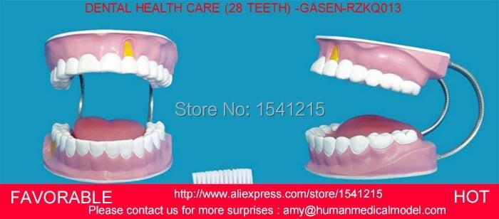 Modèle anatomique des dents dentaires, modèle dentaire, modèle dentaire 28 grandes dents de soins de santé-GASEN-RZKQ013