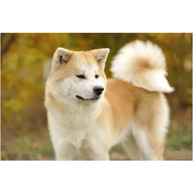 japonais akita chien mosaïque diamant peinture point de croix carré