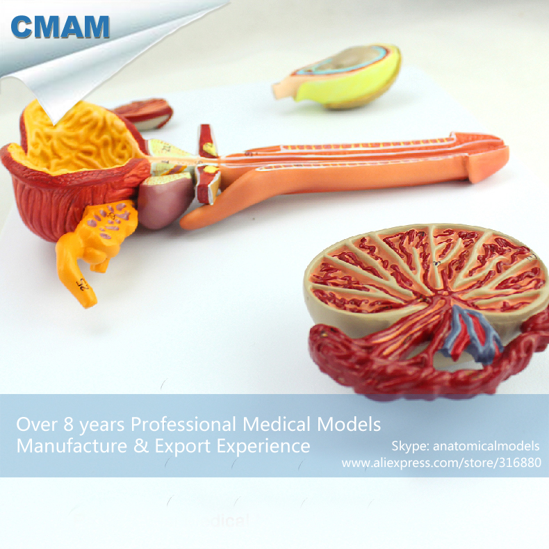 12471 CMAM-ANATOMY33 Male Reproductive System Study Model, Medical Science Educational Teaching Anatomical Models odeon light 2911 3w odl16 137 хром янтарное стекло декор хрусталь бра e14 3 40w 220v alvada