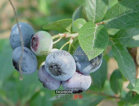... 100 / Pack, Fresh Blueberries Blueberry Bonsai Heirloom Seeds, Edible  Fruits Indoor And Outdoor ...