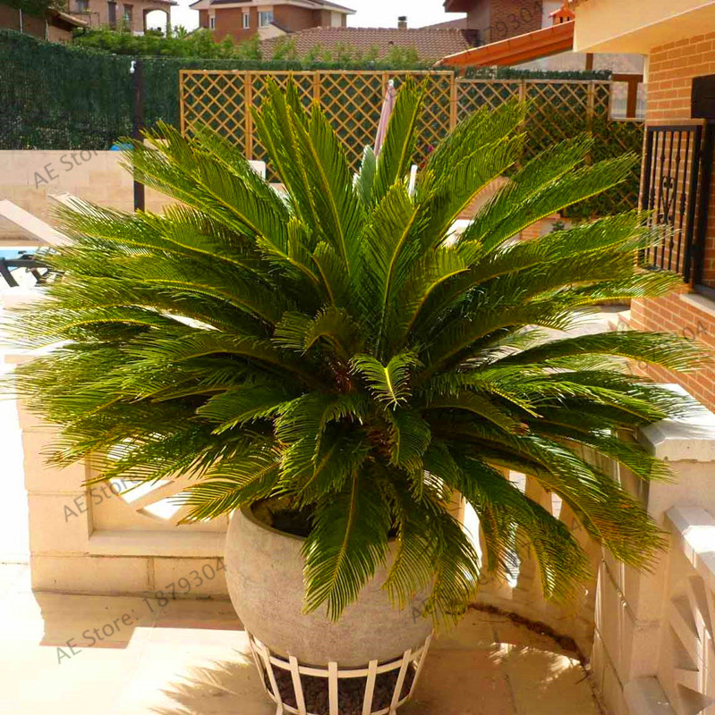 Outdoor Plants For Sale.Us 0 48 58 Off Sale 1 Garden Phoenix Canariensis Hardy Canary Islands Date Palm Bonsai Outdoor Plants Tree A9yaib On Aliexpress