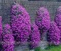 100 шт./Рок Кресс (Обриета cultorum) семена Редкие семена фиолетовый почвопокровные рок кресс Семена цветов для Дома сад Многолетнее Растение A02 #
