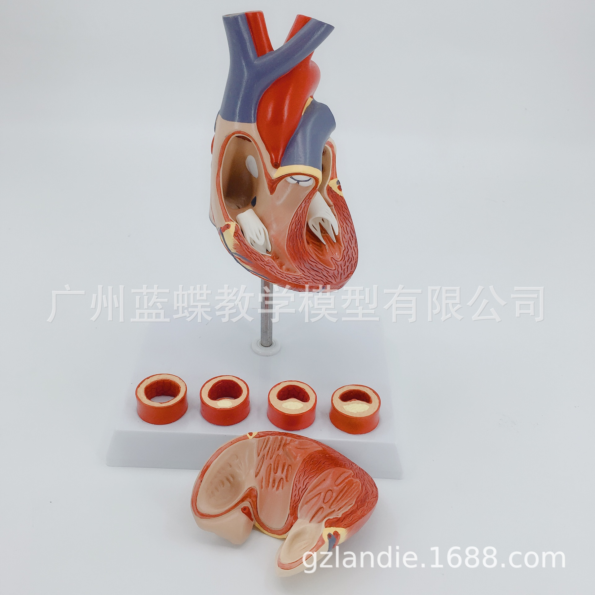 1:1 Life Size Human Heart Anatomy Model with 4 Stage Vascular Mounted on White Base Cardiac Learn School Medical Teaching Model image