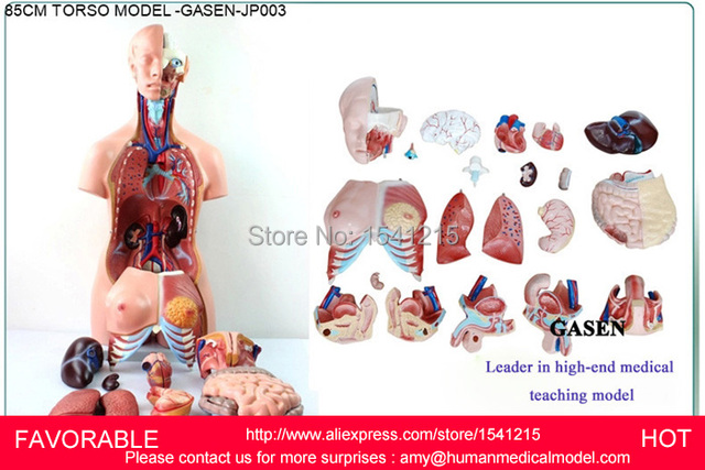 MUSCLE ANATOMY MODEL MEDICAL ORGANS DUMMY MEDICAL MANNEQUIN HUMAN ...