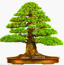 Semillas Japanese Cedar seeds 20 Pcs