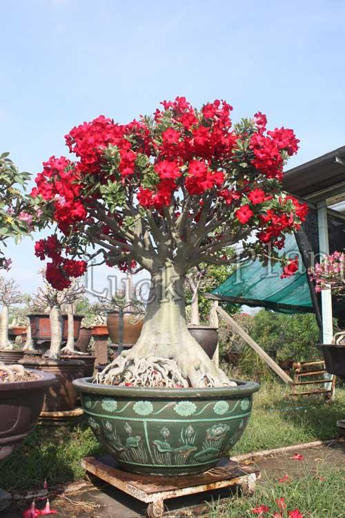 12to18inch Adenium Obesum rare Desert Rose Bonsai Succulent