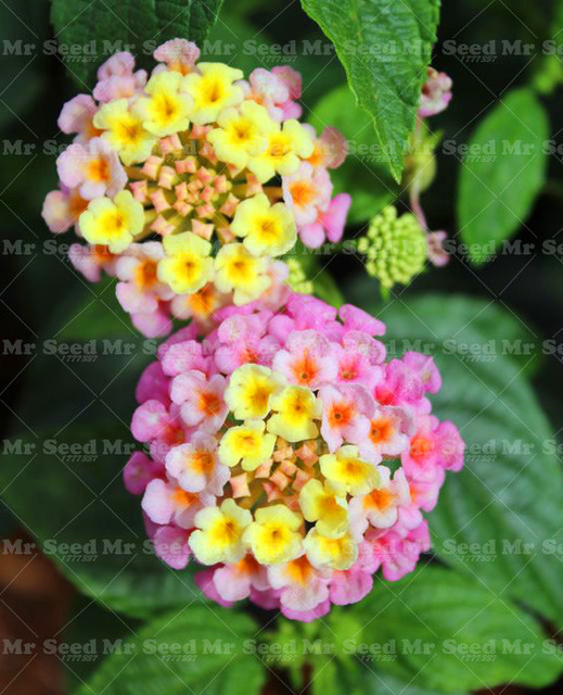 100pcs rare pink yellow lantana camara flowers seedsverbenas seeds 100pcs rare pink yellow lantana camara flowers seedsverbenas seeds chinese herbal seed perennial herb mightylinksfo