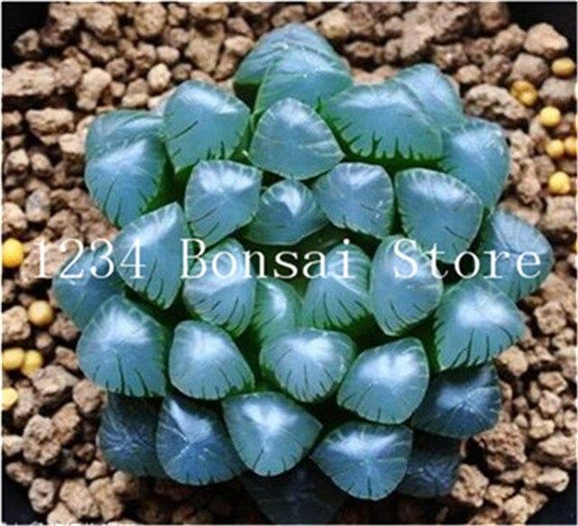 200 pz Yulu Pseudotruncatella Living Pietra Lithops Bonsai Desktop Da Ufficio Fiori Succulente Bonsai Anti-Radiazioni Purificare L' Aria