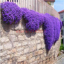 100pcs/bag Creeping Thyme Seeds or Blue ROCK CRESS Seeds – Perennial Ground cover flower ,Natural growth for home garden