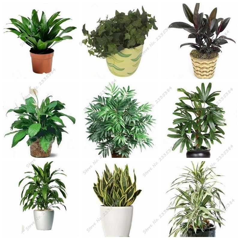 Compare prices on 10 air purifying plants online shopping for Buy air purifying plants
