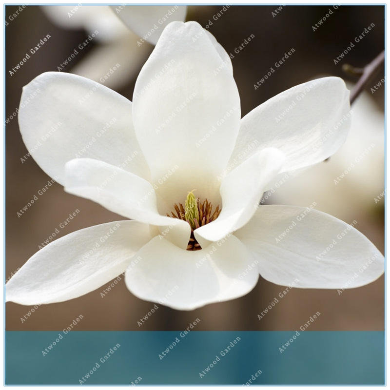 Cut Rate Zlking Free Ship 20pcs Magnolia Magnolia Tree Magnolia Flowers