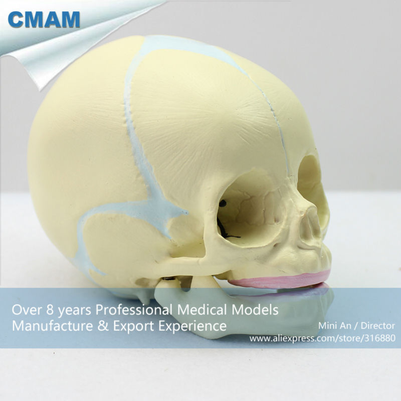 12330 Cmam Skull04 30 Weeks Fetal Skull Model Anatomical Infant