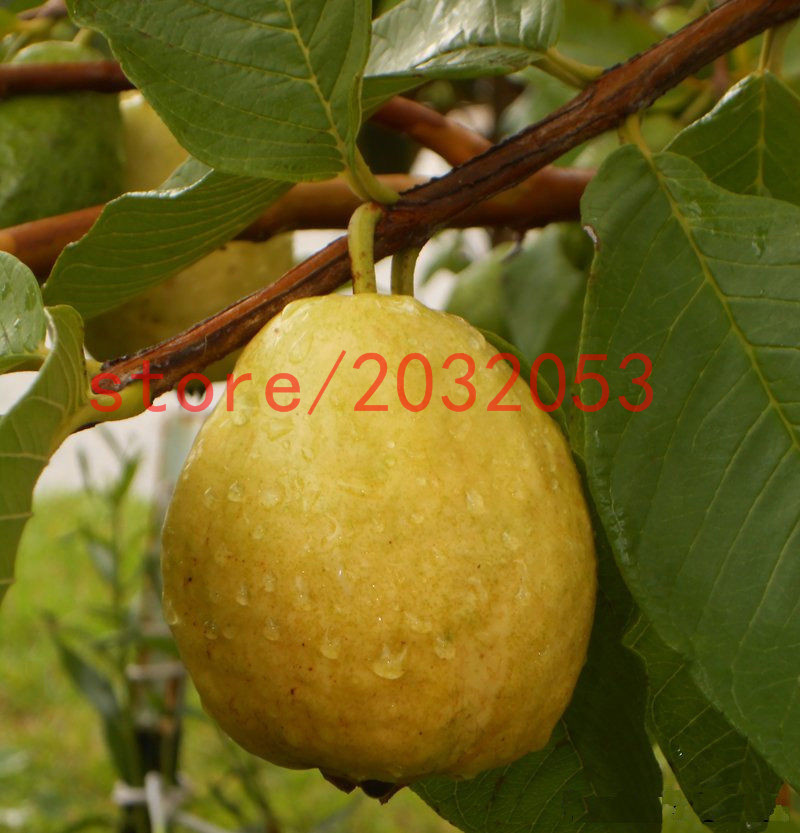 Buy Fruit: Online Buy Wholesale Guava Tree From China Guava Tree