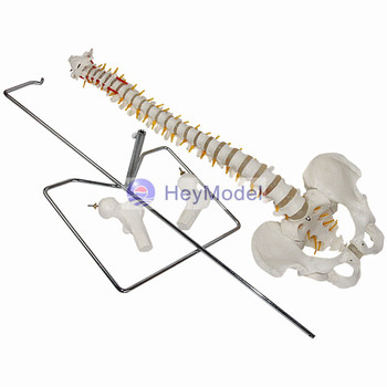 HeyModel Human spine model Spine attached pelvis model Orthopedic orthopedic implant Human spine disc фото