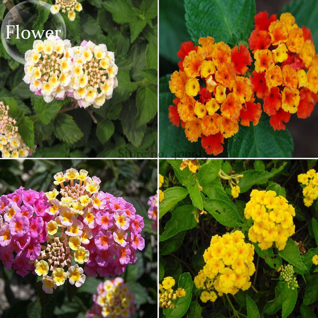 yellow and purple lantana aliexpresscom buy mixed colorful lantana camara perennial