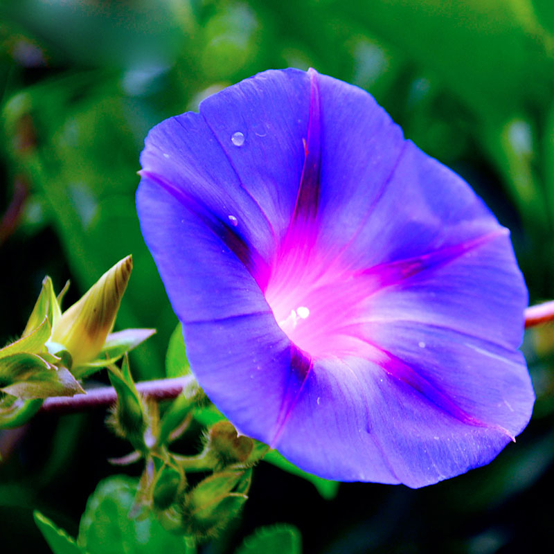 Hot Selling Rare Purple Morning Glory Seeds Balcony Bonsai Flower     Hot Selling Rare Purple Morning Glory Seeds Balcony Bonsai Flower Pharbitis  Flowers for DIY Home   Garden 60PCS in Bonsai from Home   Garden on
