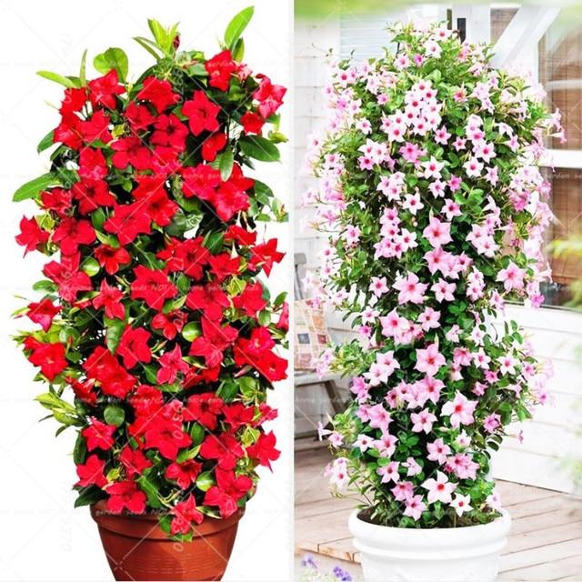 100 шт. восхождение Mandevilla Sanderi Dipladenia sanderi бонсай многолетний цветок горшечных растений DIY домашний сад