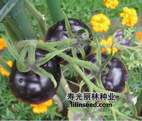 BLACK tomato  Darkest Fruit tasty sweet Vegetables Seeds