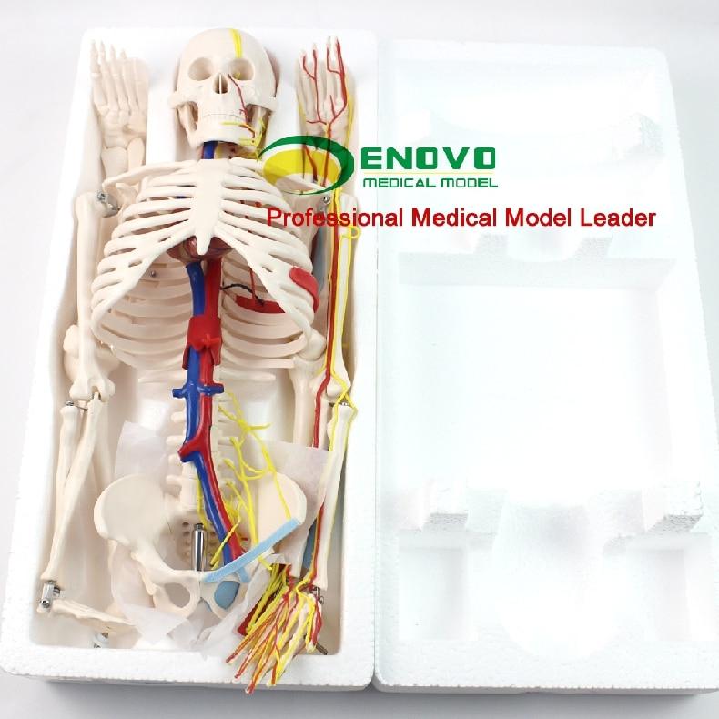 ENOVO Ιατρικό Ανθρώπινο Μοντέλο 85cm - Σχολικά και μαθησιακά υλικά - Φωτογραφία 5