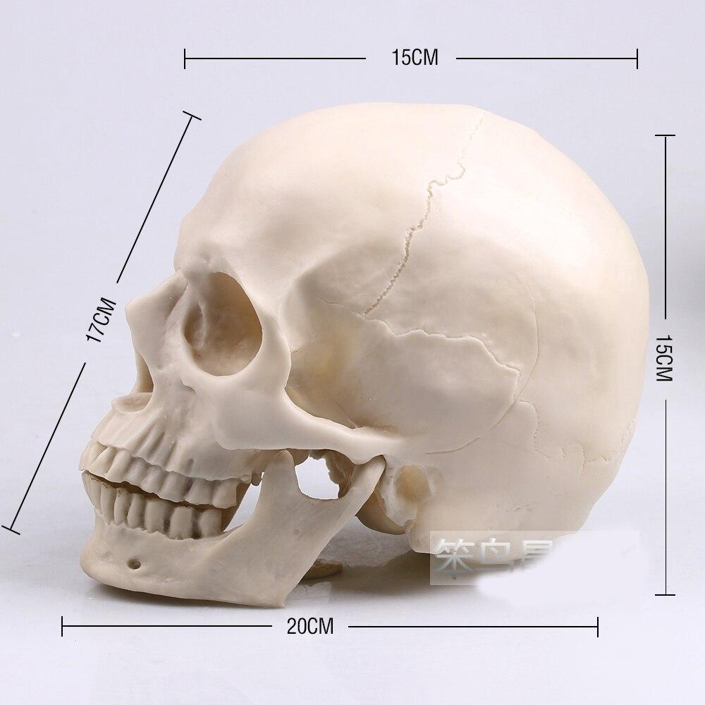 1: 1 Menschlichen Schädel Modell Life Size White Harz Schädel Modell Menschliches Skelett Modell Ein GefüHl Der Leichtigkeit Und Energie Erzeugen