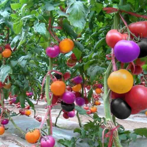 200/çanta tırmanma Domates bonsai yenilebilir Domates bitkileri Domates Sebze Olmayan GDO gıda pot ev bahçe tesisi