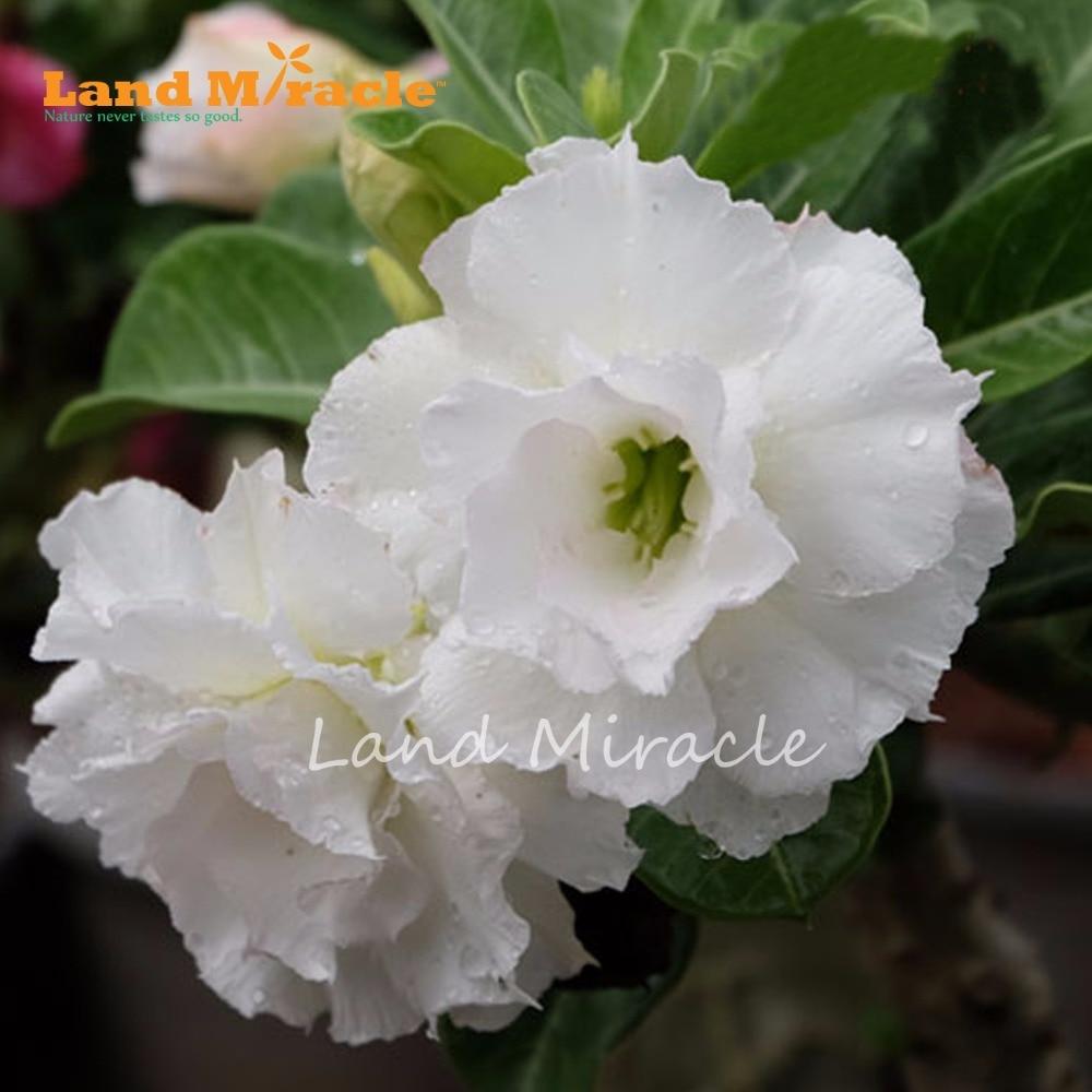 1pcs Bonsai Adenium Obesum Seeds Perennial Garden Flowers Rare