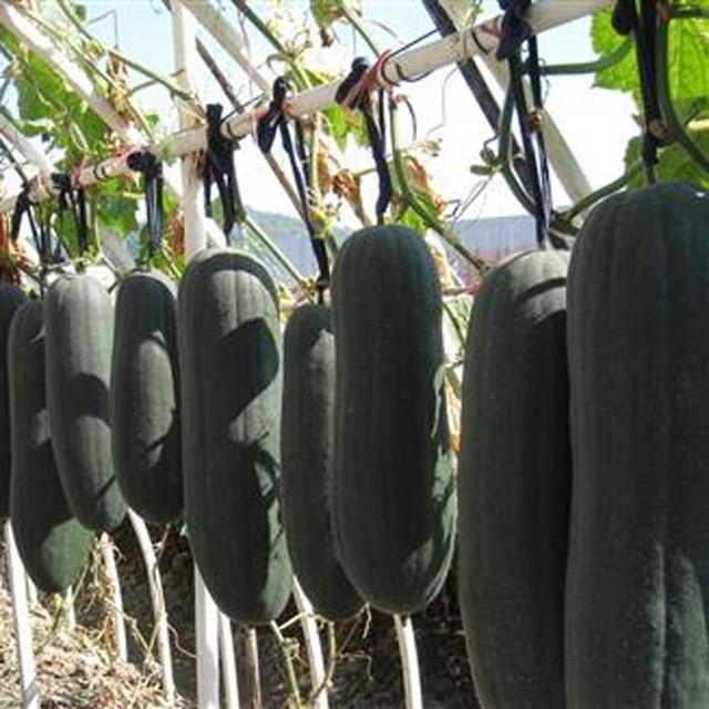 Terrace Vegetables Vegetables Melon Seeds Black Melon Garden Potted ...
