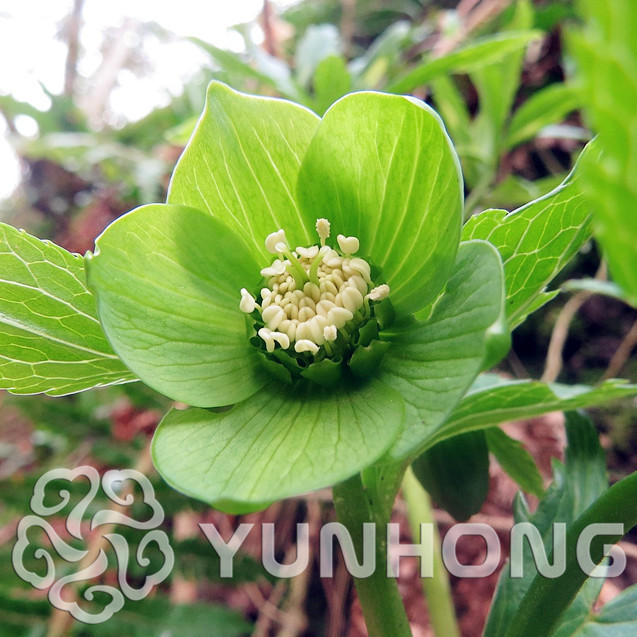 New japanese bonsai potted plants helleborus seeds 100pcs for Japanese garden flowering plants