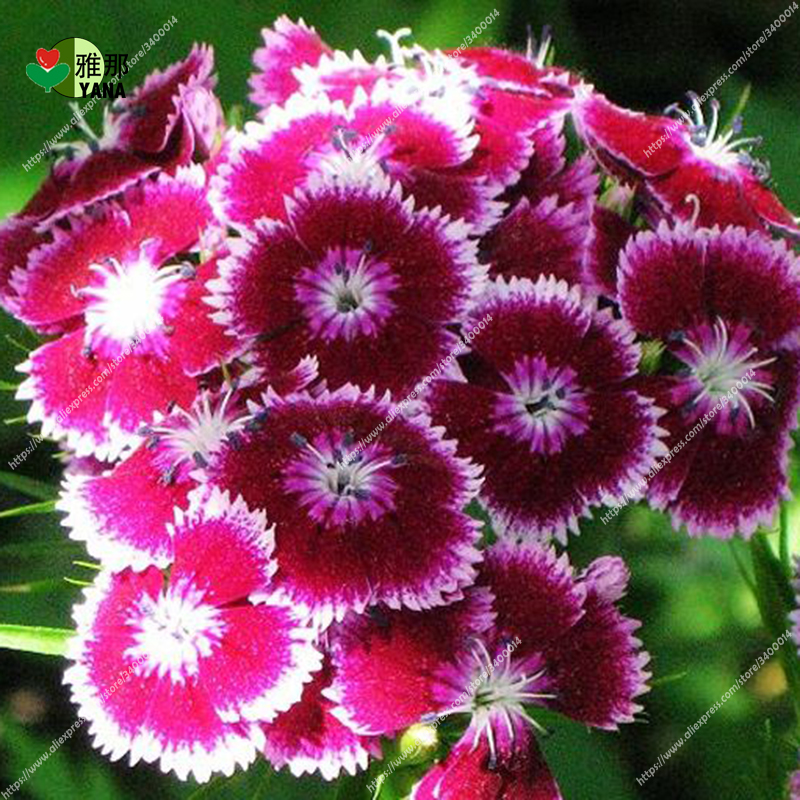 100PCS mix color Multicolored Dianthus seeds flower seeds gorgeous DIY garden flower bonsai yard balcony so easy to grow in Bonsai from Home Garden