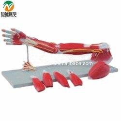 Upper Limbs Anatomical Model Muscle Anatomy Model BIX-A1033  G092