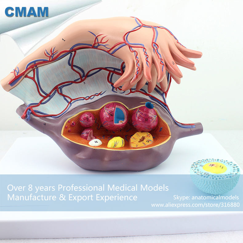 CMAM-ANATOMY27 Female Enlarge Ovaries Structure Anatomical Model, 3 Parts,5 Time Enlarge of Life size, Anatomy Pregnancy Models structure of the eyeball enlarged model eyeball structure model anatomical eye model
