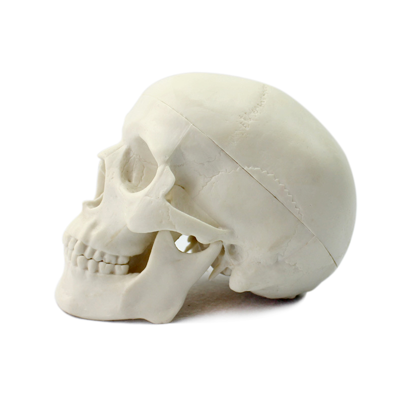 ENOVO Miniature skull Skeleton model medical art USES the skull bone model of the skull bone prediction of bone length from bone fragments