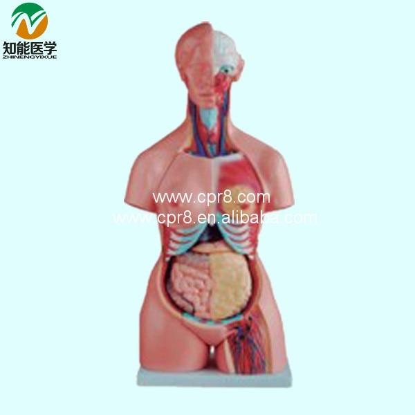 Both Sexes Torso Model (21 parts) 85cm BIX-A1036 WBW040 anatomy of the torso model 85cm male torso 19 parts