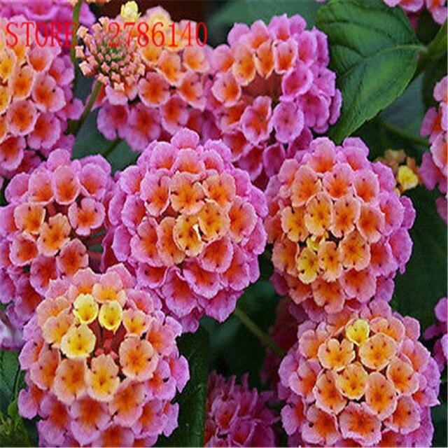 20 Pcs/Lot Lantana Camara Graines De Fleurs Rares Vivaces Herbe Magnifique  je Plante des