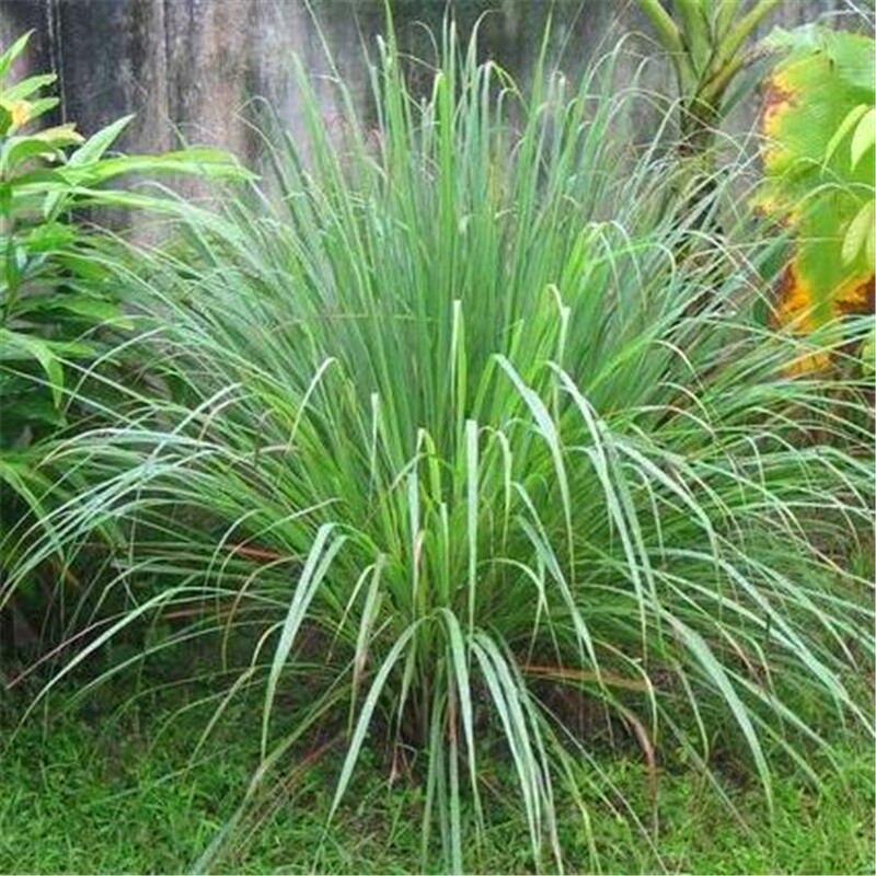 100pcs-LemonGrass-Seeds-Cymbopogon-Seed-Herbs-Vegetable-bonsai-plant-DIY-home-garden