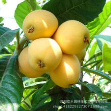 Direct bonsai loquat loquat bonsai wooden five-star loquat fruit spot south high 1 pcss/Pack(China)