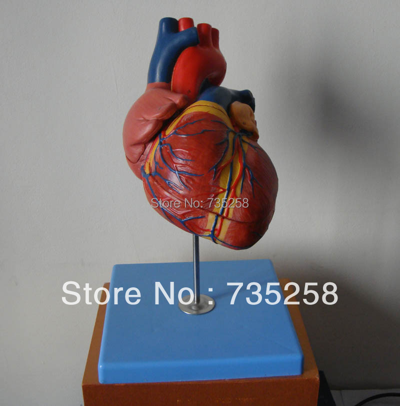 1.5 x Zoom Model of The Heart,Advanced Cardiac Anatomic Model,Adult Heart Model blood and water