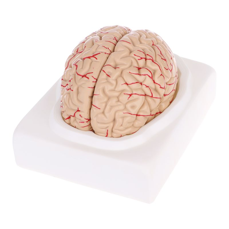 Disassembled Anatomical Brain Model Anatomy Medical Teaching Tool Medical Science Stationery for School human skin model block enlarged plastic anatomical anatomy medical teaching tool medical science stationery for school