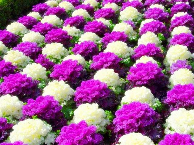 Brassica Oleracea Cabage Flower Seeds (1000 Pieces)