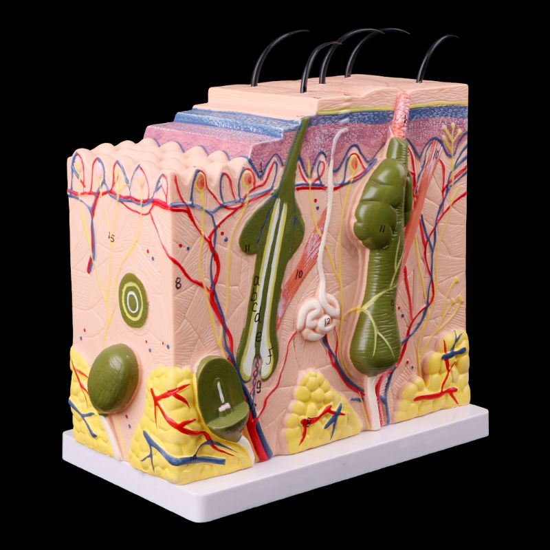 Medical Science Accessories Human Skin Model Block Enlarged Plastic Anatomical Anatomy Medical Teaching Tool dropshipping human skin tissue structure enlarged model of hair follicle human anatomy model vertical skin anatomical model gasen rzpf008