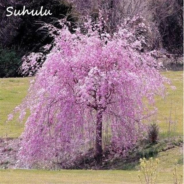 Bonsaï Arbre Japonais Sakura Arbre graines 20 Pcs Rare Rouge ...