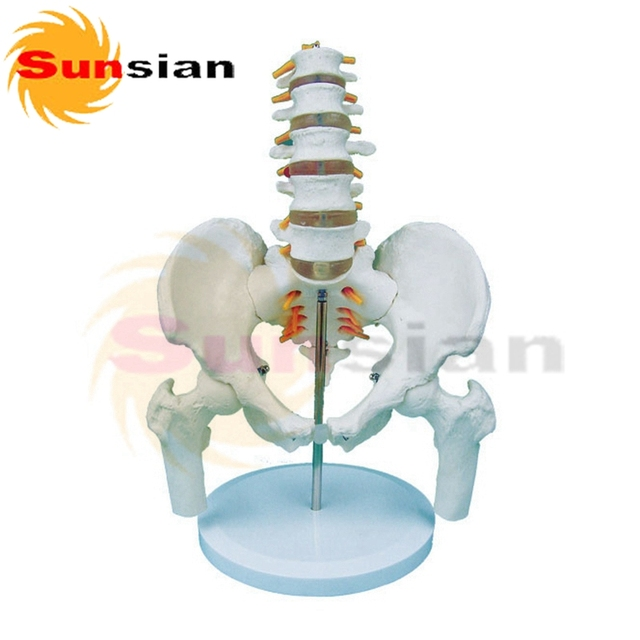 US $85 0 |Lumbar spine with pelvis model and femoral stumps ,human skeleton  anatomical model-in Massage & Relaxation from Beauty & Health on