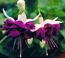 100Pcs Fuchsia Tree Seeds